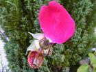 Auch die schönste Rose, verblüht einmal