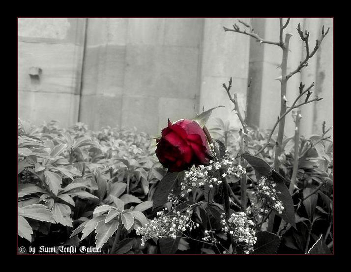 Auch die Schönsten Rosen verblühen ..