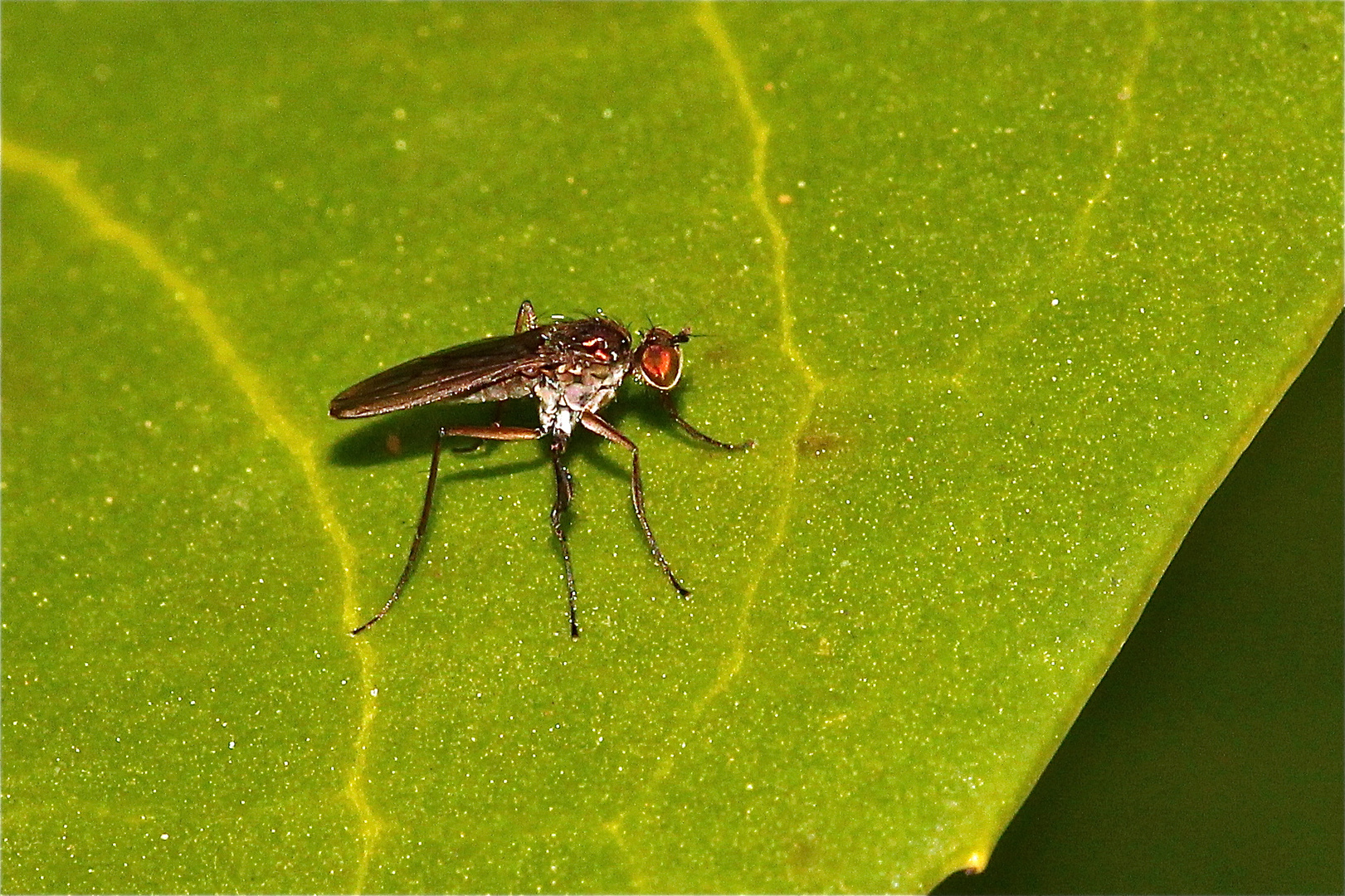 Auch diese etwa 8 mm lange Langbeinfliege sonnt sich ab heute auf den Blättern . . .