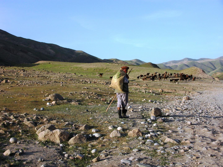 Auch dieser Schäfer bringt die Herde nach Hause