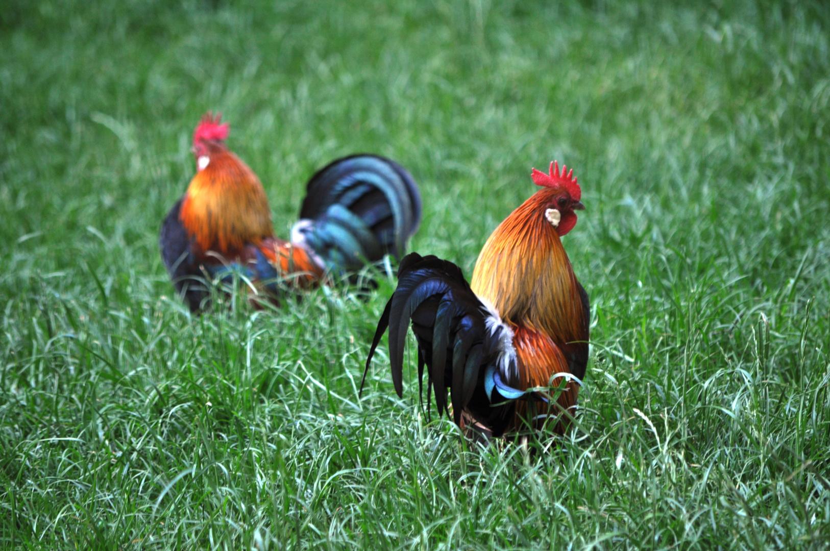 Auch ein Hahn kann schön sein