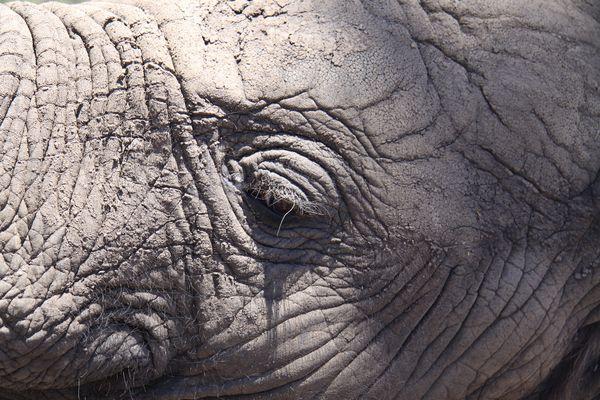 Auch ein junger Elefant hat schon Falten ....
