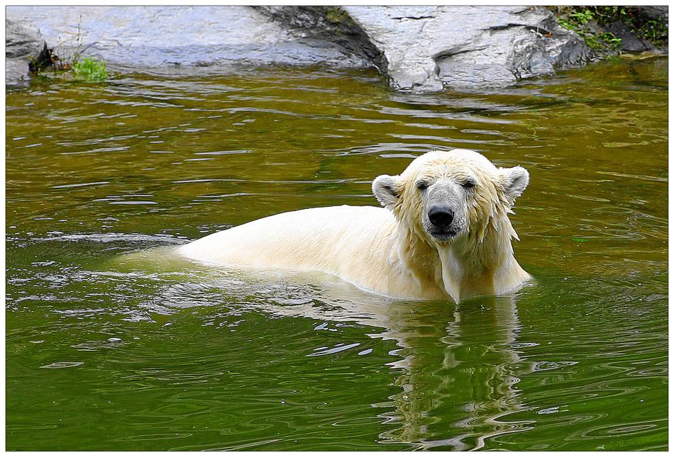 auch ein Knut