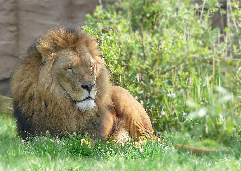 auch ein Löwe braucht mal Pause