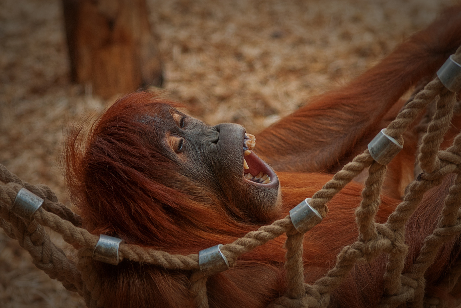 Auch ein Orang-Uthan braucht seine Ruhe