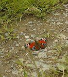 Auch ein Schmetterling will mal spazierengehen