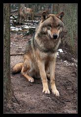 ...auch ein Wolf kann brav aussehen...