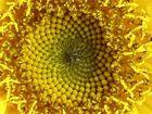 Auch eine Sonnenblume