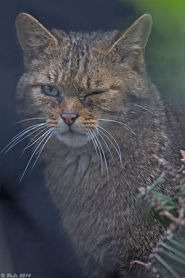 Auch eine Wildkatze riskiert....