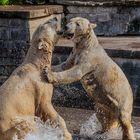 Auch Eisbären lieben den Badespaß