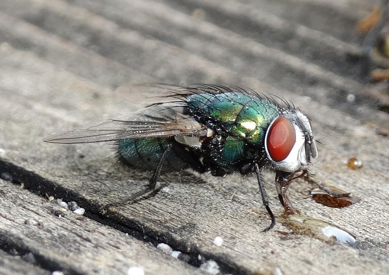 Auch Fliegen lieben  Honig !