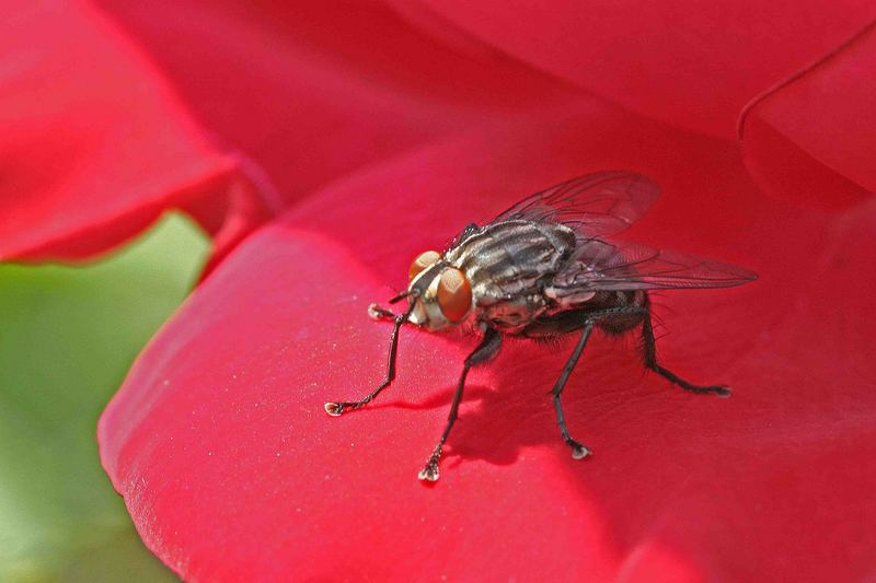 Auch Fliegen lieben Rosenduft