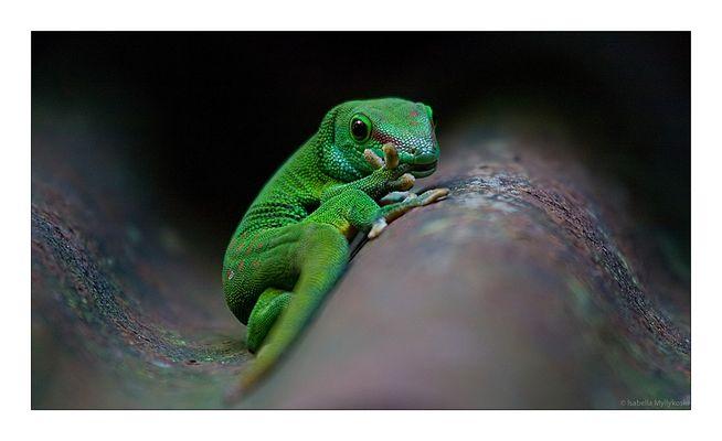 Auch Geckos kauen an den Fingernägeln :-)