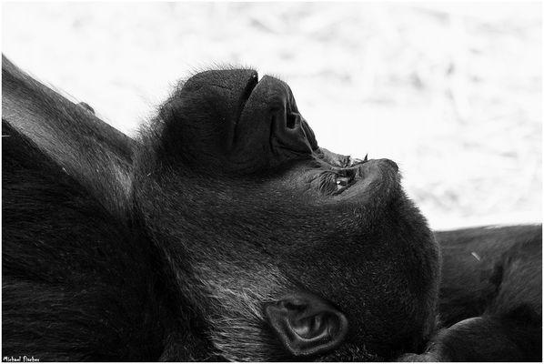 Auch Gorilla-Damen haben Träume...