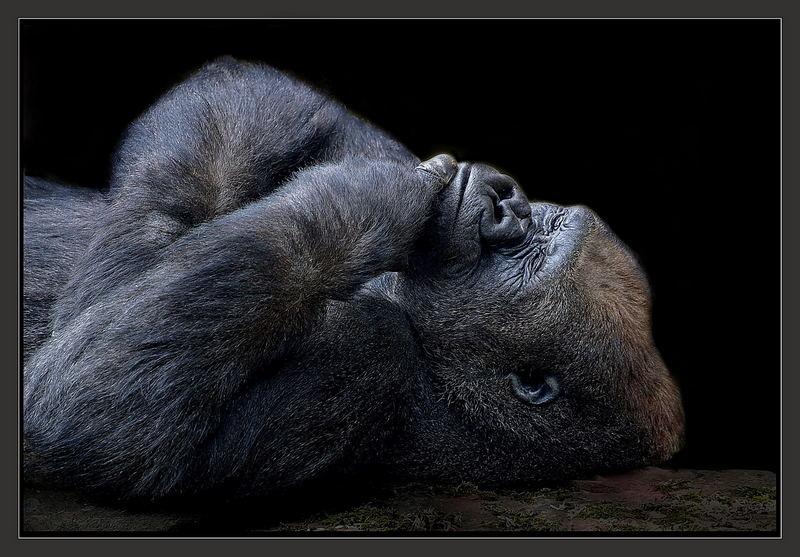auch gorillas haben s e tr ume foto bild tiere zoo. Black Bedroom Furniture Sets. Home Design Ideas
