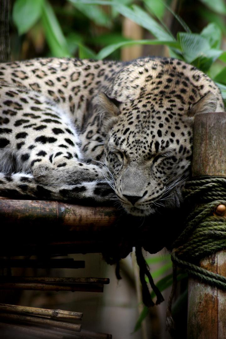 Auch große Katzen müssen schlafen.