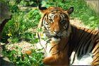 auch Halle hat schöne Tigerdamen
