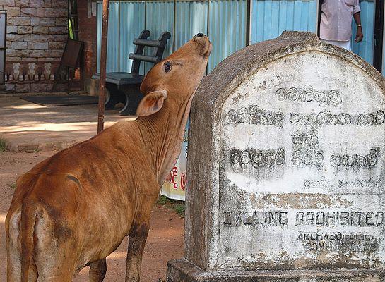 ... auch Heilige Kühe müssen sich kratzen!