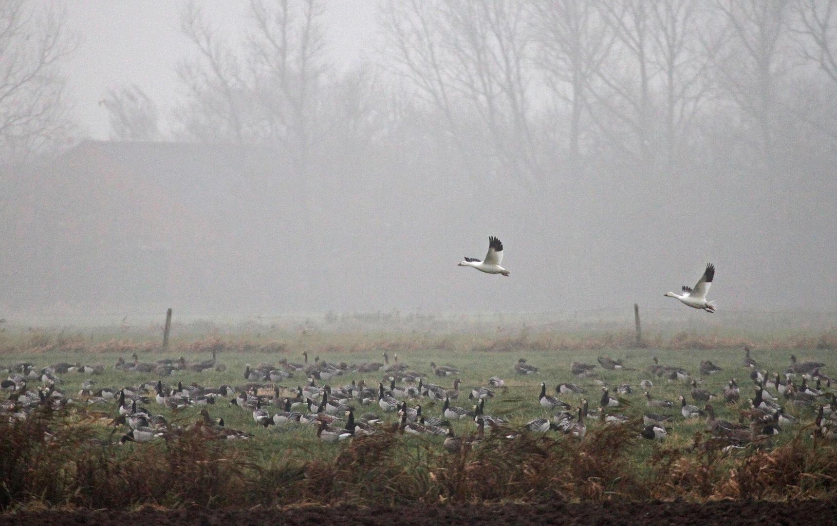 Auch im Nebel sind nicht alle Gänse grau