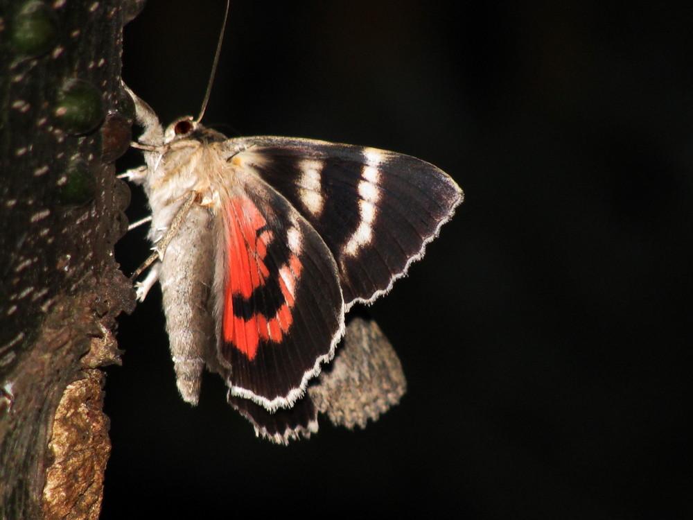 Auch in der Nacht fliegen Schönheiten