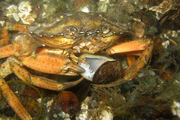 Auch Krabben mögen Miesmuscheln...