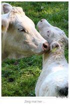 Auch Kühe haben einen Ausweis