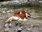 Auch Kühe habens schwer