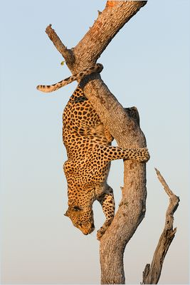 Auch Leoparden