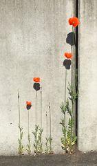 Auch Mauerblümchen werfen Schatten...