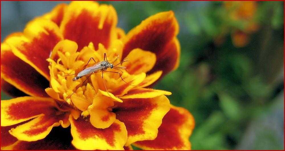 Auch Mücken ruhen sich mal aus....wenn möglich auf einer schönen gemütlichen Blüte....