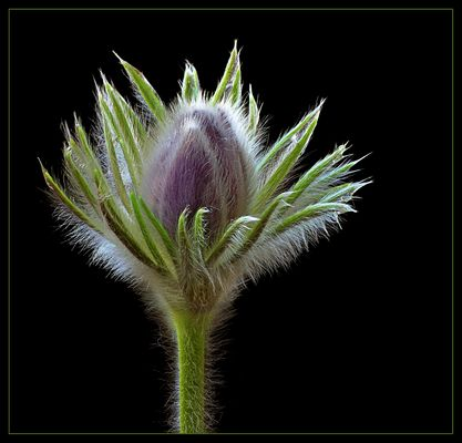Auch ohne offene Blüte hat die Küchenschelle als Fotomotiv viel zu bieten