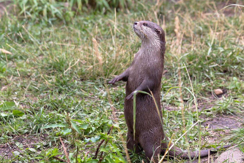 Auch Otter betteln