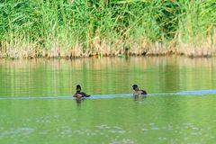 Auch Reiherenten zeigten sich auf dem Gewässer im NSG Am Tibaum, wenn auch nur in ca. 100m Distance