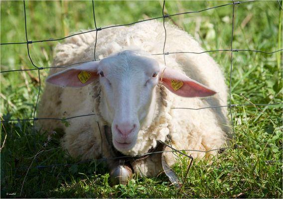 Auch Schafe...