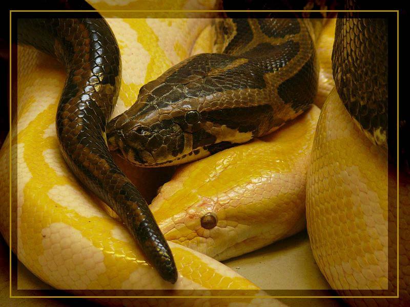 auch Schlangen kuscheln....