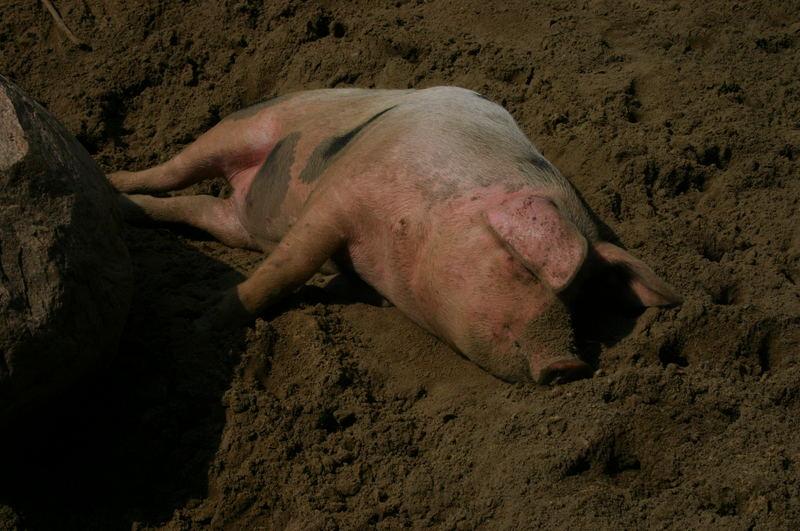 Auch Schweine genießen die Sonne