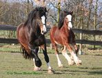 ... auch Shire Horses können rennen....