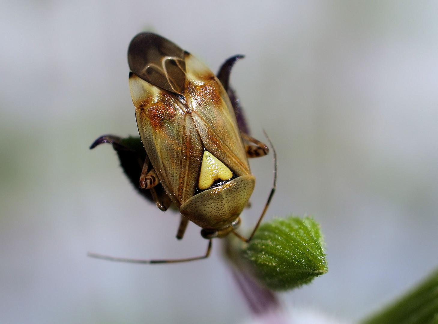auch wanzen k nnen ein herz haben foto bild tiere wildlife insekten bilder auf. Black Bedroom Furniture Sets. Home Design Ideas