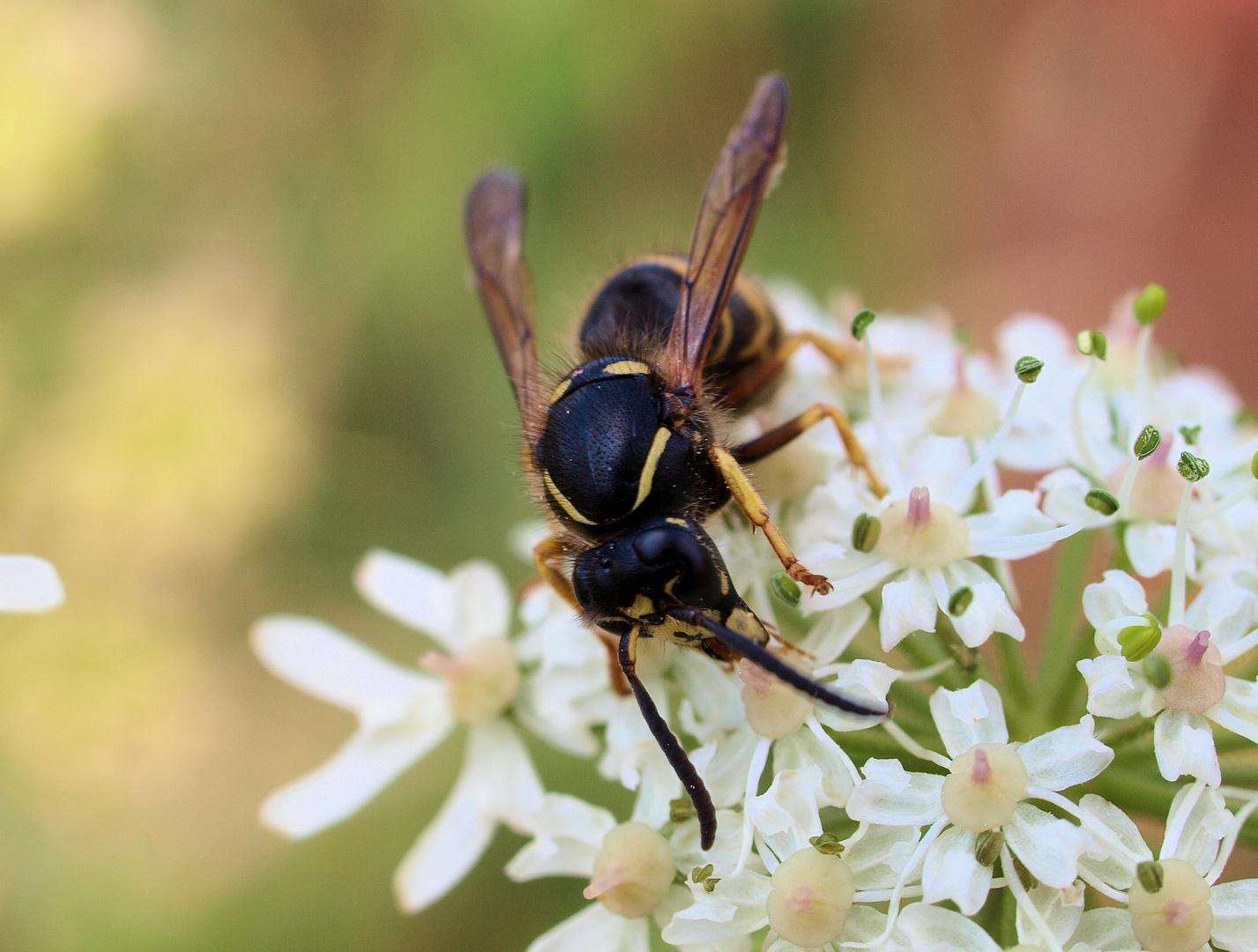 ....auch Wespen futtern an Blüten....;)