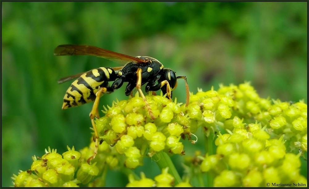 Auch Wespen mögen Maggikraut...