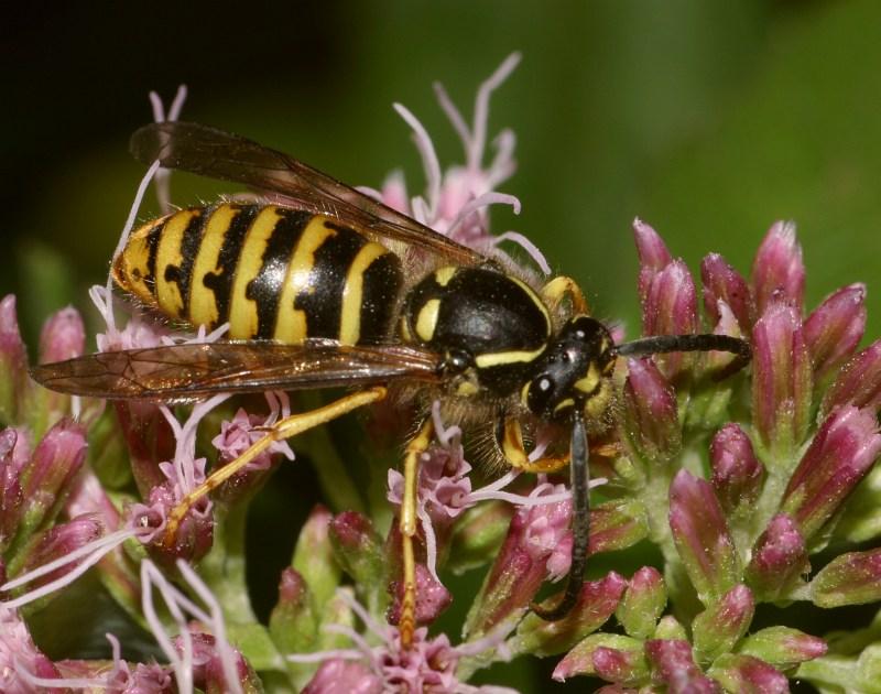 Auch Wespen naschen gern