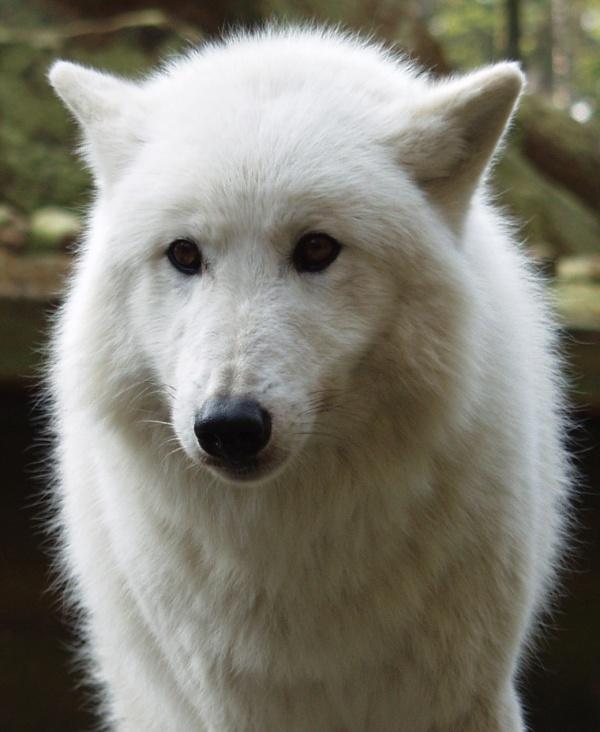 Auch Wölfe...
