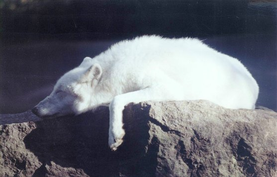 auch Wölfe müssen schlafen