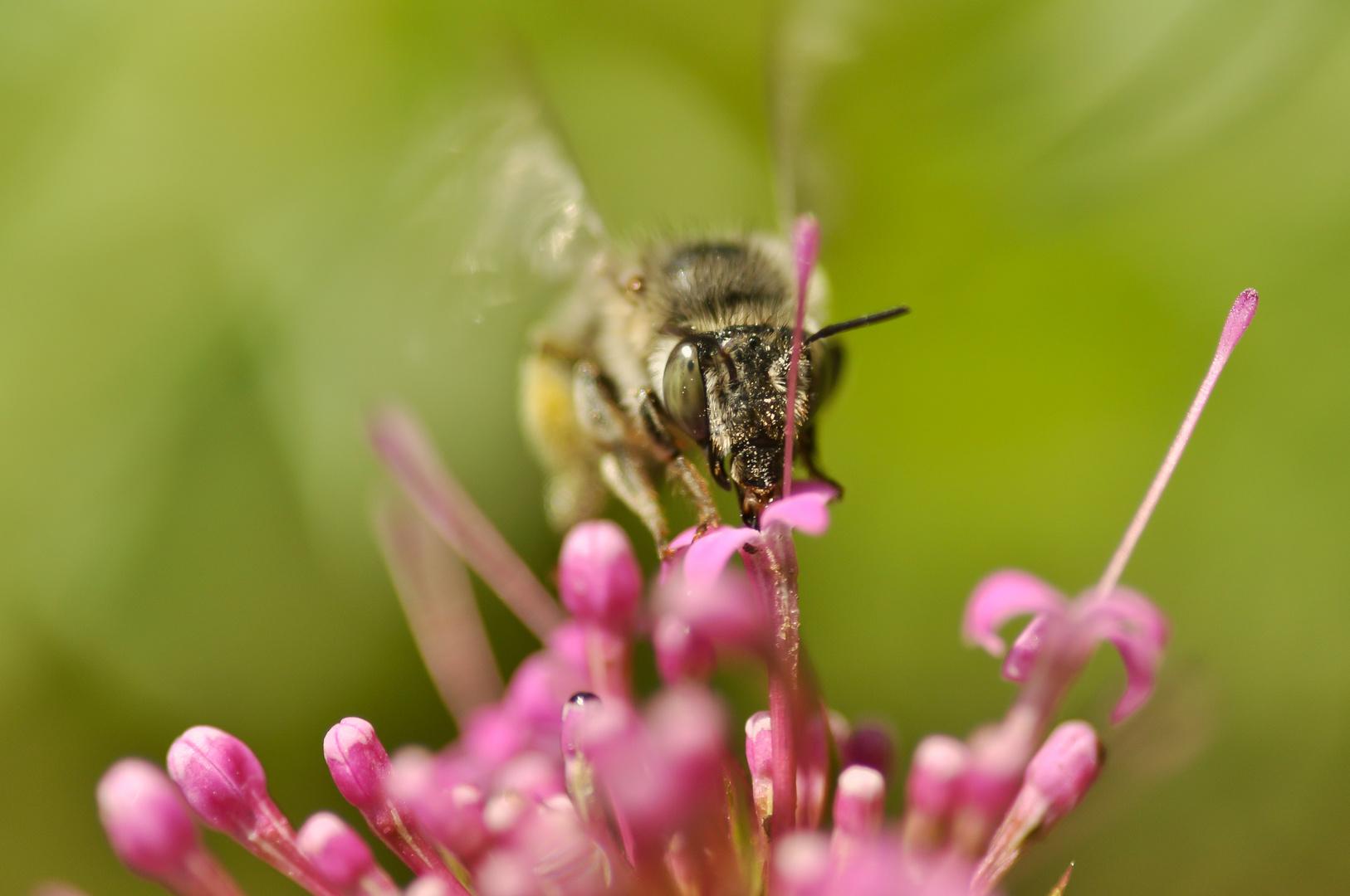Auf Bienenjagd ;)