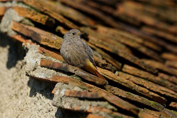 Auf dem alten Schindeldach... junger Hausrotschwanz