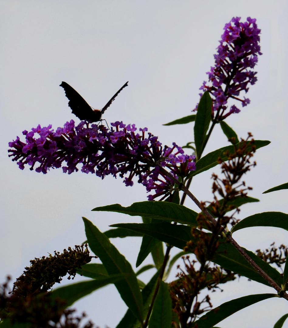 Auf dem Schmetterlingsflieder