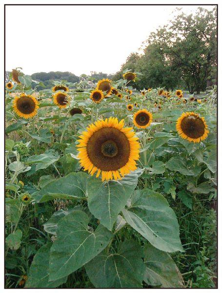 auf dem Sonnenblumenfeld