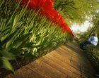 Auf dem Tulpenweg