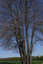 Auf dem Weg nach Düssel  einsamer Baum, fast ohne Blätter.
