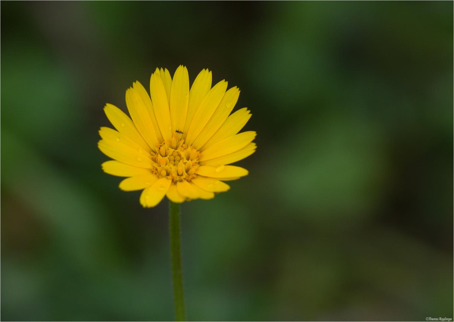 Auf der Acker-Ringelblume (Calendula arvensis)..
